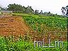 jagung dan tanah kosong
