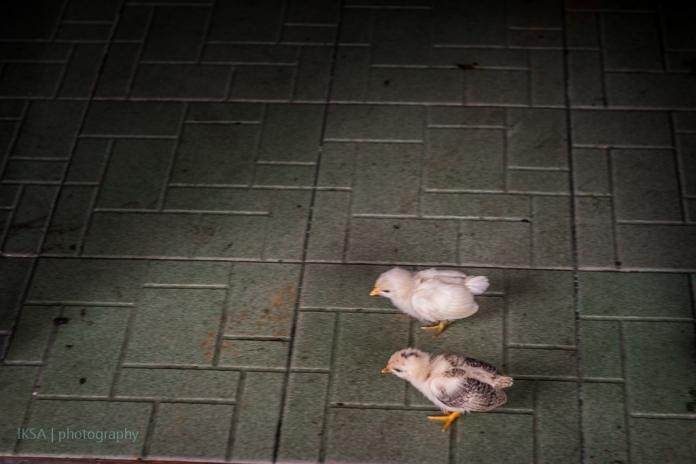 Dua anak ayam
